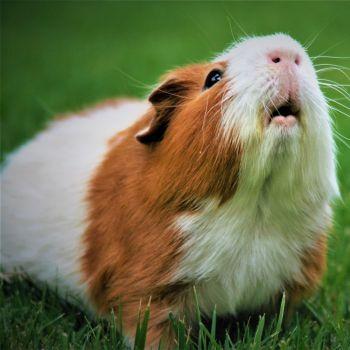 artgerechte-meerschweinchen-haltung-blog-2020