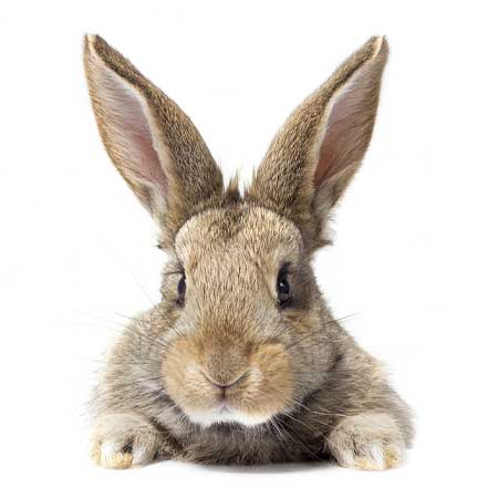 Bild - Kaninchen