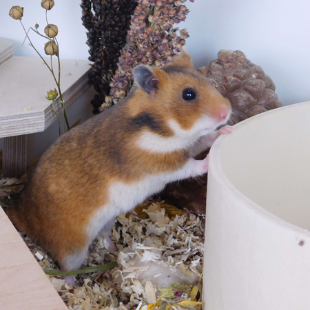 Hamster - Bild