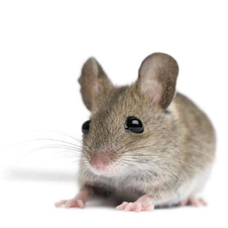 Bild - Maus