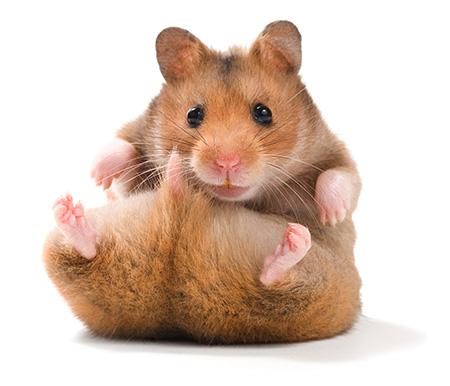 Bild - Hamster
