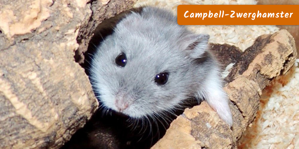 Campbell-Zwerghamster